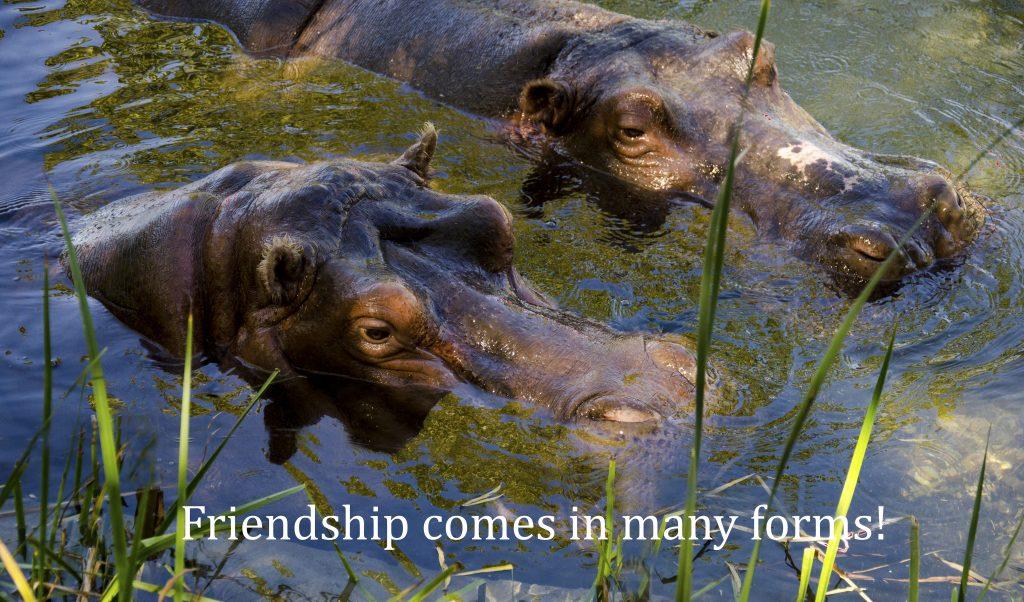 two hippos