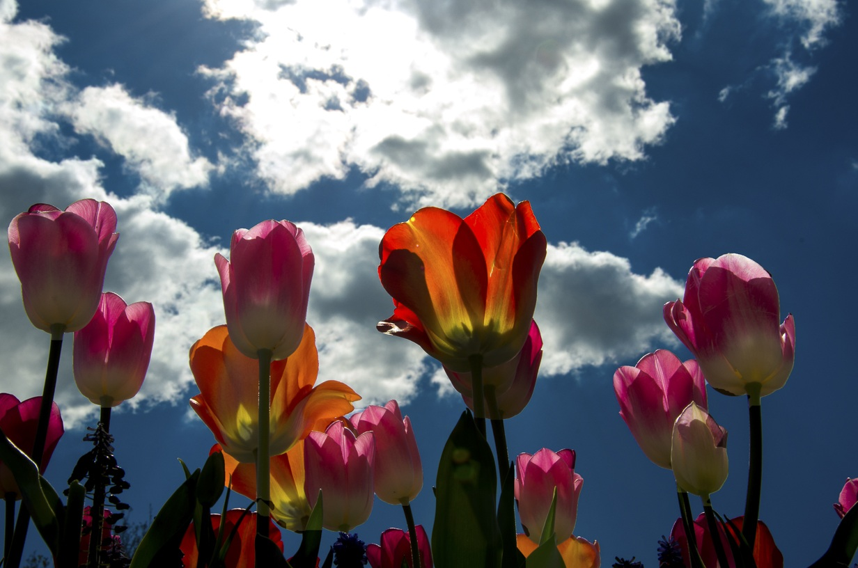 Tulips, Looking Up